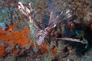 Lion Fish Scuba Diving in the Philippines