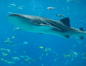 Whale Shark at Donsol
