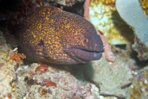 Moray Eel Scuba Diving in the Philippines